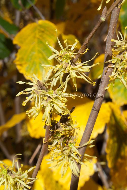 Hamamelis virginiana 'Harvest Moon' flowers