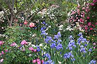 Blue Iris blooming among roses.