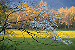 Great Smoky Mountains National Park, Tennessee: Morning sun filters into Cades Cove, with a flowering dogwood (Cornus florida)