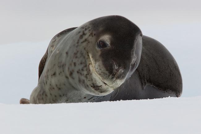 Leopard Seal on an iceberg in Antarctica.