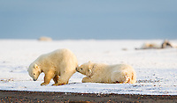 Female Polar Bear cub at left put up with a lot of annoying, dominating, aggressive behavior from her brother, at right.  Finally, he laid down and appeared to start napping.  The female tried to make her escape, but brother bear awoke it time to use his teeth to keep her close.  Kaktovik, Alaska.