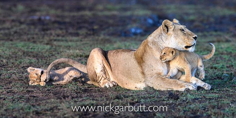 Female lion with cubs (Panthera leo) (around 10 weeks old) - playing / grooming. Woodland on the border of Serengeti / Ngorongoro Conservation Area (NCA) near Ndutu, Tanzania.