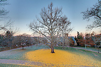 The famous ginkgo tree west of the rotunda at the University of Virginia photographed Nov. 29, 2010 in Charlottesville, VA. Photo/Andrew Shurtleff