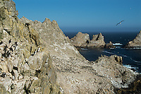 Nesting common murre colony (foreground), nesting Brant's cormorant colony (bkgd). Farallon Islands NWR, CA
