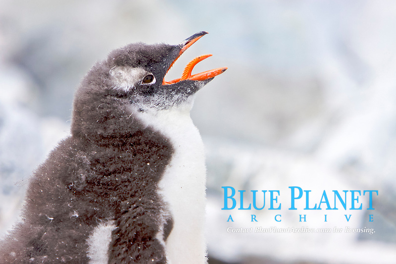 Gentoo penguin (Pygoscelis papua) chick in Antarctica. The Gentoo Penguin is one of three species in the genus Pygoscelis. It is the third largest of all penguins worldwide, with adult Gentoos reach a height of 51 to 90 cm (20-36 in).There are an estimated 80,000 breeding gentoo penguin pairs in the Antarctic peninsula area with a total population estimate of around 314,000 breeding pairs in all of Antarctica.
