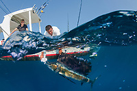 Sailfish, Istiophorus platypterus, being caught big game fishing