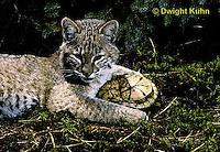 1R07-076z  Bobcat - young bobcat with box turtle - Felis rufus