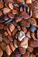 Heirloom Lima Beans 'Jackson Wonder' pile of dried vegetable seeds