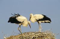 Weiss-Storch, Weissstorch, Weiß-Storch, Weißstorch, Storch, flügge Jungvögel auf Nest, Ciconia ciconia, white stork