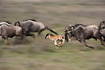 A wildebeest calf, only days old, is already able to keep up with the fast running herd during the annual great migration on the Serengeti plains, Tanzania.