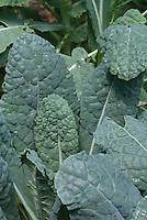 Kale Lacinato blue vegetable leaves, Brassica 'Lacinato', Tuscan Kale aka Toscano or Dinosaur Kale, closeup of foliage leaves aka Cavalo Nero kale