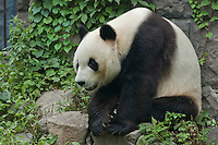 Giant panda sitting on a rock at Beijing Zoo, Beijing, China.