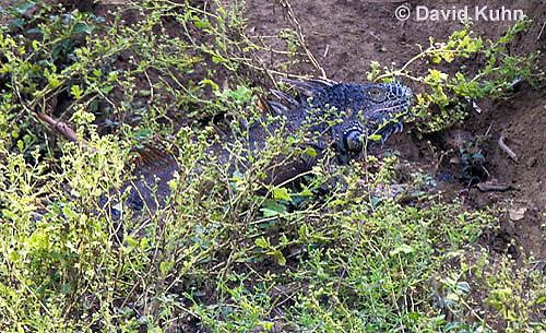 0625-1104  Male Green Iguana Hiding within Brush (Common Iguana), On River Bank in Belize, Iguana iguana  © David Kuhn/Dwight Kuhn Photography