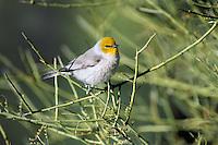 Verdin (Auriparus flaviceps).  Sonoran Desert, Arizona.  April.
