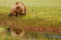 Brown Bear sow feeds in grass with reflection in water in Lake Clark National Park.  Silver Salmon Creek area. Western Alaska  Summer<br /> <br /> Photo by Jeff Schultz/  (C) 2020  ALL RIGHTS RESERVED