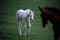 A white foal greets another foal at Patchen Wilkes farm are extremely rare in the world.  Only 16 white thoroughbreds have been recorded in the studbook in 107 years out of more than 1.7 million registered. The farm has bred several generations that are genetically bred to be white--not albino. <br /> The mare and foal descend from the first non-albino white thoroughbred registered in 1963--White Beauty. Patchen Beauty raced in the mid-1990s.