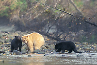 spirit bear, kermode, black bear, Ursus americanus, mother with cub(s) in the rainforest along a river of the central British Columbia coast, Canada