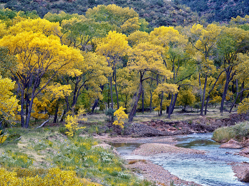 Virgin River and fall color.Zion National Park, Utah