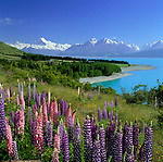 New Zealand, South Island, Lake Pukaki: Lake and Mount Cook View with Lupins | Neuseeland, Suedinsel, Lake Pukaki: bluehende Lupinen am See vorm Mount Cook