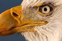 The rising sun illuminates the eye of a bald eagle at the Homer Spit in Alaska.