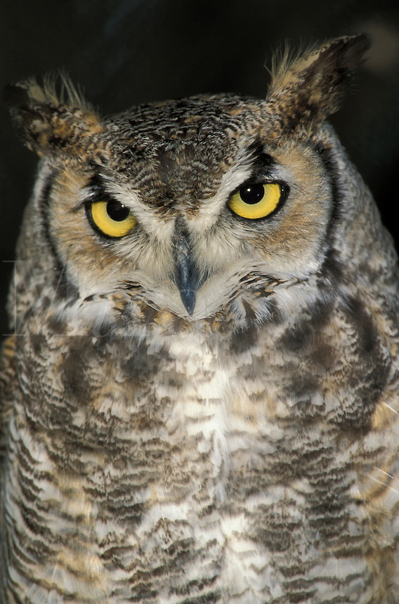 Great Horned Owl (Bubo virginianus) close up (in captivity)