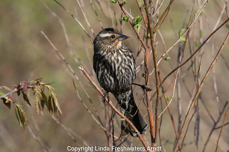 Female red-winged blackbird (Agelaius phoeniceus) perched in the brush