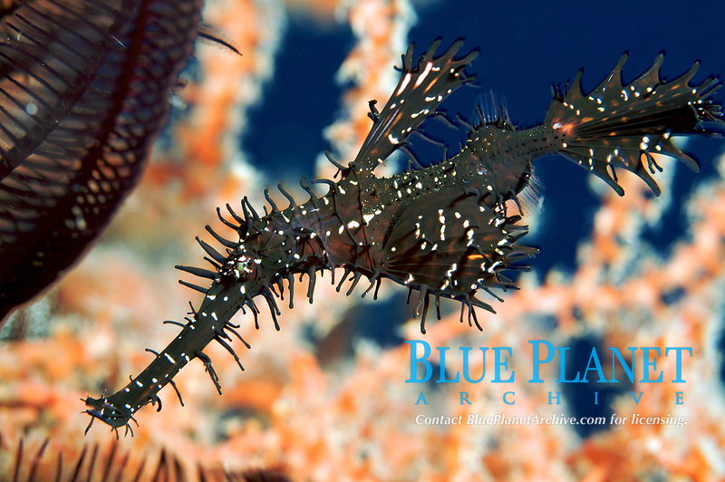 An ornate ghost pipefish (Solenostomus paradoxus) living next to the Liberty Wreck, Bali, Indonesia, Indian Ocean