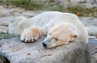 Polar Bear (Ursus maritimus), male named Yoghi, lying in its open-air enclosure at Hellabrunn Zoo, Munich, Upper Bavaria, Bavaria, Germany, Europe
