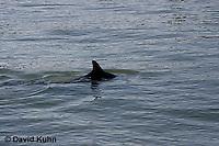 0129-08nn  Breaching Common Bottlenose Dolphin - Tursiops truncatus © David Kuhn/Dwight Kuhn Photography
