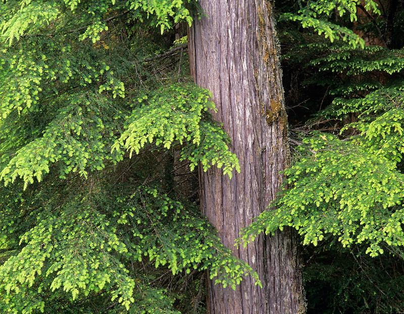 New growth on Hemlock trees. Olympic National Park, Washington.
