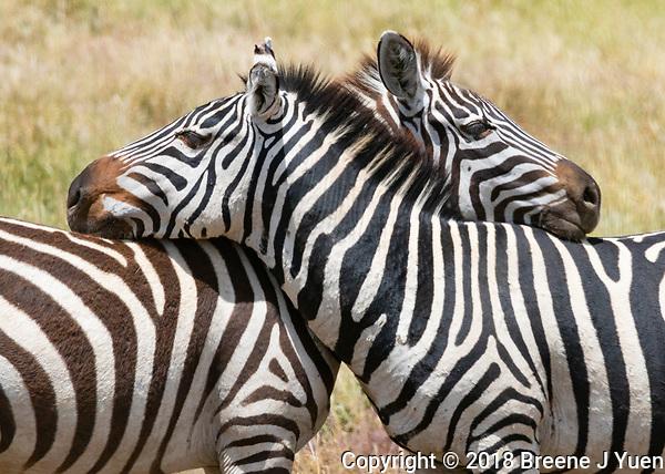 Zebra Hug, Zebras Resting their Necks and Watching for Predators