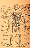 """Science:  Pre-Vesalian Skeleton, Plate 2.  """"Clearly indicating traditional, nonhuman, and even imaginary osteology"""".  C.D. O'Malley, Andreas Vesalius of Brussells.  Photo '84."""