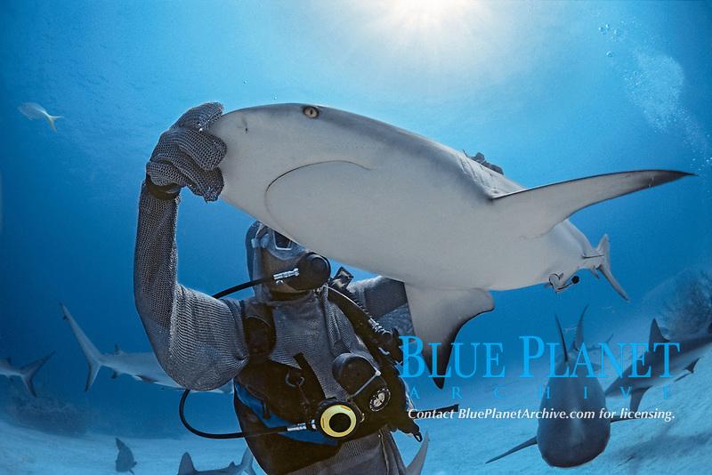 Shark handler holding Caribbean Reef Shark (Carcharhinus perezii) in hypnotic trance.