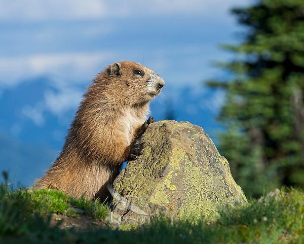 Olympic Marmot (Marmota olympus) in subalpine meadow, Olympic National Park, WA.  Summer.