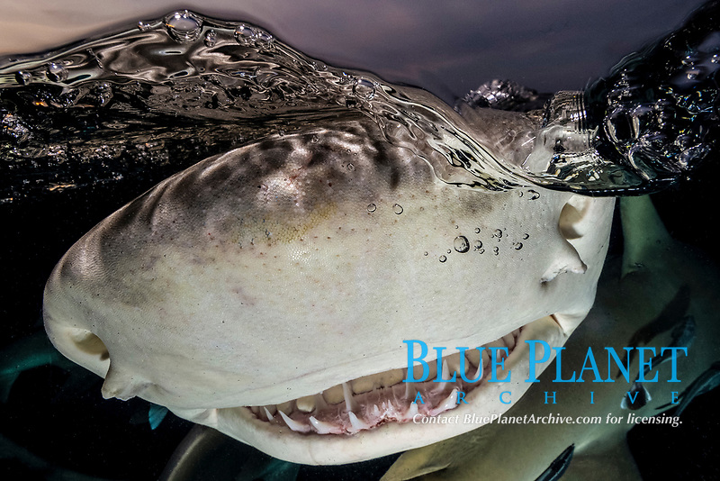 Lemon Shark (Negaprion brevirostris) at Tiger Beach; a popular shark diving spot on Little Bahama Bank in the Northern Caribbean.