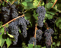 CABERNET SAUVIGNON wine grapes ready for harvest