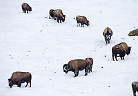 Bison endure a harsh Yellowstone winter.