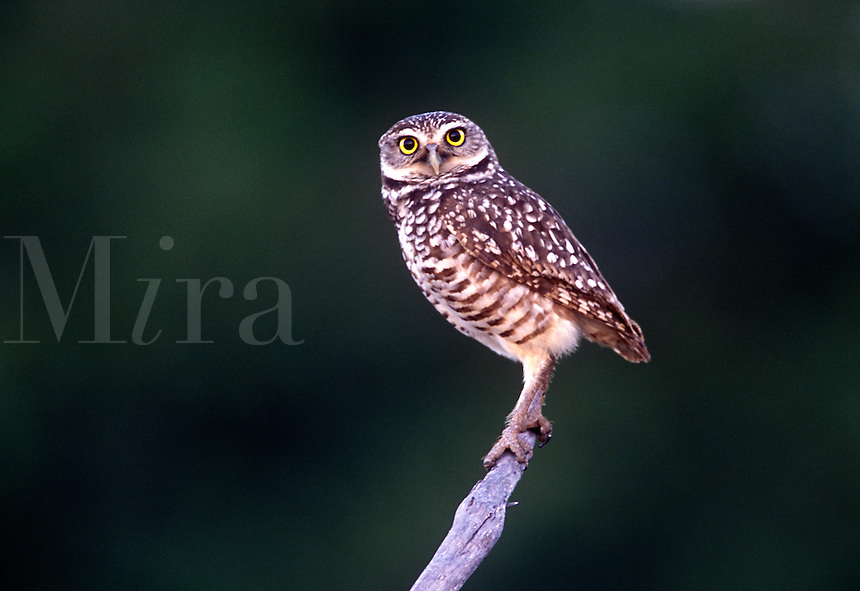 Burrowing Owl on Perch, Cape Coral, Florida