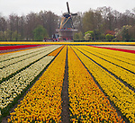 Windmill and flowers in Holland