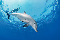 Indo-Pacific bottlenose dolphin, Tursiops aduncus, and woman snorkeler, Yellow Fish Reef, Abu Nuhas, Strait of Gubal, Egypt, Red Sea, Indian Ocean, MR