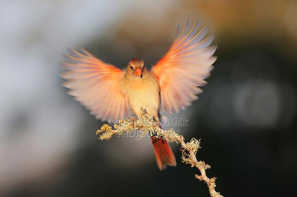 Northern Cardinal (Cardinalis cardinalis), female landing, Dinero, Lake Corpus Christi, South Texas, USA