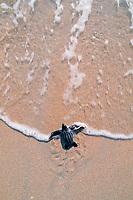leatherback turtle hatchling, Dermochelys coriacea, entering ocean, Juno Beach, Florida, Atlantic Ocean