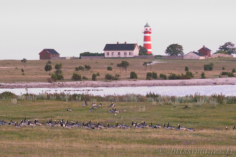 Geese flock in the fields near När Lighthouse on the east coast of Gotland, Sweden