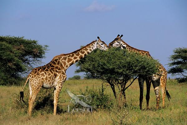 Masai Giraffe (Giraffa camelopardalis), East Africa.