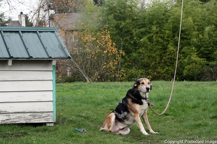 Tabacco, a 4 1/2 or 5 year old border collie/lab mix, lives on a tether with a pulley in Kenmore, Wash. on December 3, 2008.  He has a full view of the street and comes inside every night.  His dog house is solid, waterproof, and dog toys litter the yard.  (Karen Ducey/Seattle Post-Intelligencer)