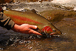 A Rainbow Trout from the North Island, NZ.