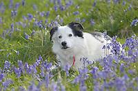 Rip the sheepdog in Bluebells, Dinkling Green Farm.