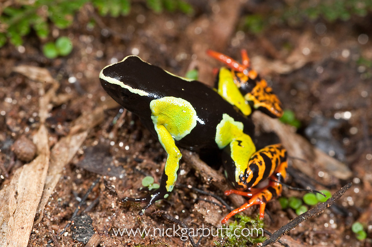 Painted Mantella Frog (Mantella madagascariensis). Andasibe-Mantadia National Park, eastern Madagascar.