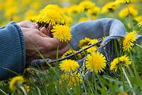 Löwenzahn-Ernte, Löwenzahnernte, Kräuterernte, Kräuter sammeln, Löwenzahnblüten, Löwenzahn-Blüten, Blüten, Löwenzahn, Wiesen-Löwenzahn, Wiesenlöwenzahn, Gemeiner Löwenzahn, Gewöhnlicher Löwenzahn, Kuhblume, Taraxacum officinale, Taraxacum sect. Ruderalia, Dandelion, common dandelion, Dent de lion