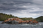 Stellar's Sea Lions (Eumetopias jubatus) on off-shore rocks near Princess Royal Island, great Bear Rainforest, British Columbia, Canada.